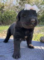 Newfoundland Dog Puppies for sale in Spring Branch, TX 78070, USA. price: NA