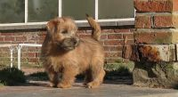 Norfolk Terrier Puppies for sale in Beaver Creek, CO 81620, USA. price: NA