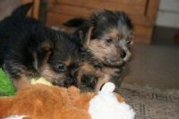 Norfolk Terrier Puppies for sale in Chicago, IL, USA. price: NA