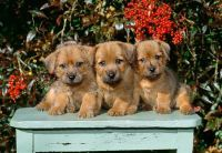 Norfolk Terrier Puppies for sale in Miami, FL, USA. price: NA