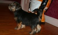Norfolk Terrier Puppies for sale in San Jose, CA, USA. price: NA