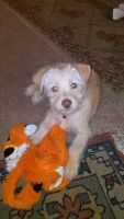 Norfolk Terrier Puppies for sale in Montclair, CA, USA. price: NA