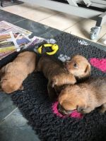 Norfolk Terrier Puppies for sale in State Hwy 161, Texas, USA. price: NA