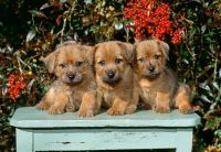 Norfolk Terrier Puppies for sale in California St, San Francisco, CA, USA. price: NA