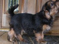 Norfolk Terrier Puppies for sale in Detroit, MI, USA. price: NA