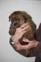 Norfolk Terrier Puppies for sale in Atlanta, GA, USA. price: NA