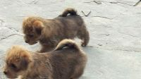 Norfolk Terrier Puppies for sale in Houston, TX, USA. price: NA