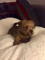 Norfolk Terrier Puppies for sale in United States. price: NA