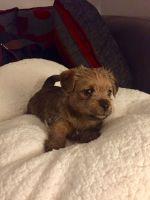 Norfolk Terrier Puppies for sale in W Leonard Rd, Leonard, MI 48367, USA. price: NA
