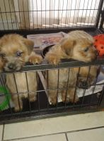 Norfolk Terrier Puppies for sale in Washington, DC, USA. price: NA