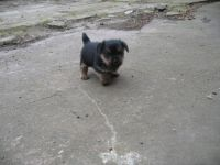 Norfolk Terrier Puppies for sale in El Segundo, CA 90245, USA. price: NA