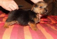 Norfolk Terrier Puppies for sale in TX-121, Blue Ridge, TX 75424, USA. price: NA