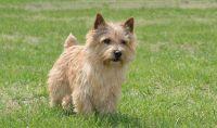 Norfolk Terrier Puppies for sale in Speedway, Austin, TX, USA. price: NA