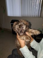 Norfolk Terrier Puppies for sale in Stockton, CA, USA. price: NA