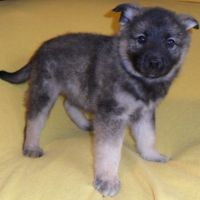 Norwegian Elkhound Puppies for sale in Canton, OH, USA. price: NA