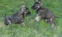Norwegian Elkhound Puppies for sale in TX-121, Blue Ridge, TX 75424, USA. price: NA