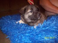 Norwegian Elkhound Puppies for sale in Jackson Center, PA 16133, USA. price: NA