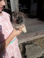 Norwegian Elkhound Puppies for sale in Branchport, NY 14418, USA. price: NA