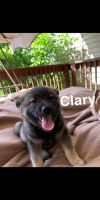 Norwegian Elkhound Puppies for sale in Stockport, OH 43787, USA. price: NA