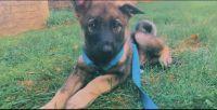 Norwegian Elkhound Puppies for sale in Arlington, VA, USA. price: NA
