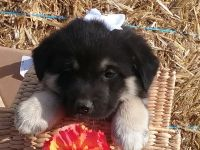 Norwegian Elkhound Puppies Photos