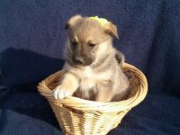Norwegian Elkhound Puppies for sale in Shelby, OH 44875, USA. price: NA