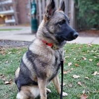 Norwegian Elkhound Puppies for sale in 1963 Langerdale Rd, South Euclid, OH 44121, USA. price: NA