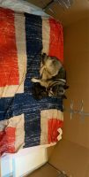 Norwegian Elkhound Puppies for sale in 37071 Farley St, Clinton Twp, MI 48036, USA. price: NA