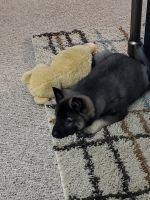 Norwegian Elkhound Puppies for sale in Harrisonburg, VA, USA. price: NA