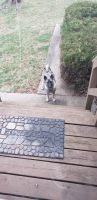Norwegian Elkhound Puppies for sale in Shippensburg, PA 17257, USA. price: NA