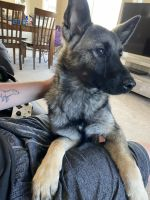 Norwegian Elkhound Puppies for sale in Fountain, CO, USA. price: NA