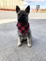 Norwegian Elkhound Puppies for sale in Seattle, WA, USA. price: NA