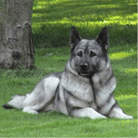 norwegian elkhound dog