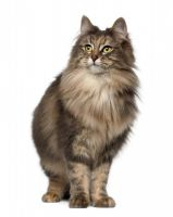 norwegian forest cat cat
