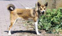 norwegian lundehund dog