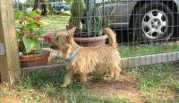 Norwich Terrier Puppies Photos