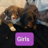 Nova Scotia Duck-Tolling Retriever Puppies Photos