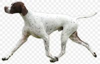 old danish pointer dog