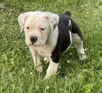 Old English Bulldog Puppies for sale in New London, IA 52645, USA. price: NA