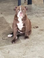 Old English Bulldog Puppies for sale in Valrico, FL, USA. price: NA