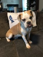 Old English Bulldog Puppies for sale in Indianola, MS 38751, USA. price: NA