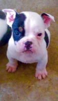 Old English Bulldog Puppies for sale in Lancaster, CA, USA. price: NA