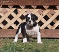 Old English Bulldog Puppies for sale in Naperville, IL, USA. price: NA