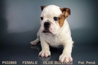 Old English Bulldog Puppies for sale in San Diego, CA, USA. price: NA