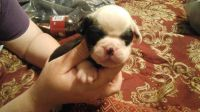 Old English Bulldog Puppies for sale in Augusta, GA, USA. price: NA