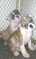 Old English Bulldog Puppies for sale in Rochester, NY, USA. price: NA