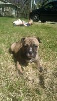 Old English Bulldog Puppies for sale in Indianapolis, IN, USA. price: NA