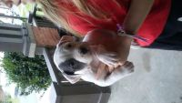 Old English Bulldog Puppies for sale in Norfolk, VA, USA. price: NA