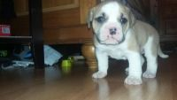 Old English Bulldog Puppies for sale in Barnegat Township, NJ, USA. price: NA