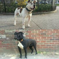 Old English Bulldog Puppies for sale in Jersey City, NJ, USA. price: NA